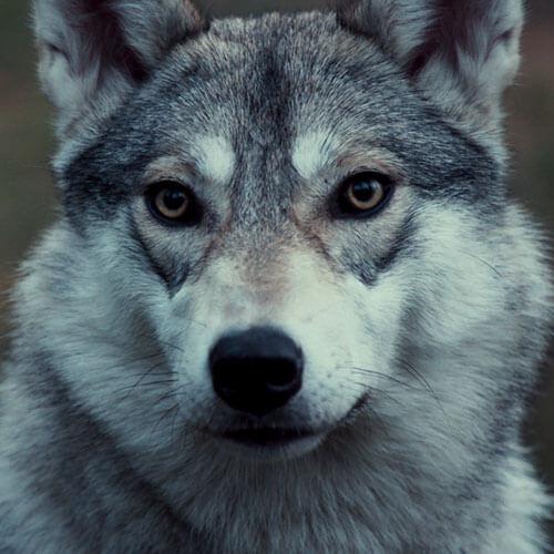 Dating-Website für Husky-Jungs